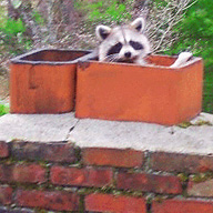 middletown ct chimney sweep found raccoon